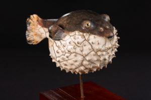 Poisson fugu - poisson globe