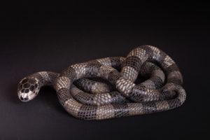 Serpent roi de Californie (Lampropeltis Getulus Californiae) - Pièces de Nadine JANIN